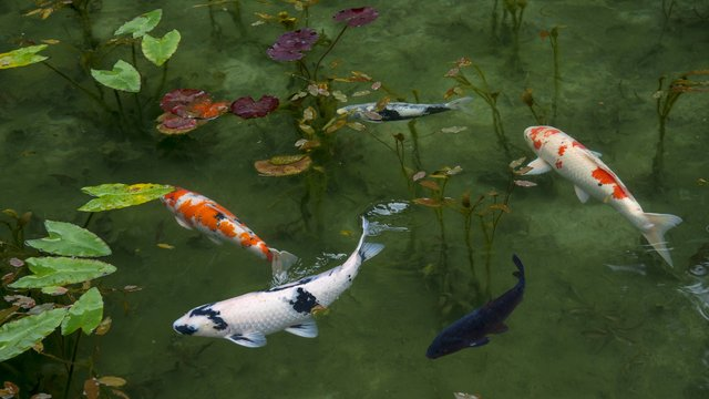 夢占い 鯉