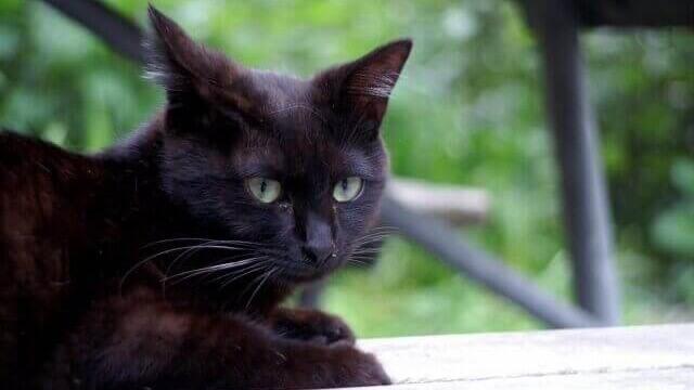 夢占い 黒猫