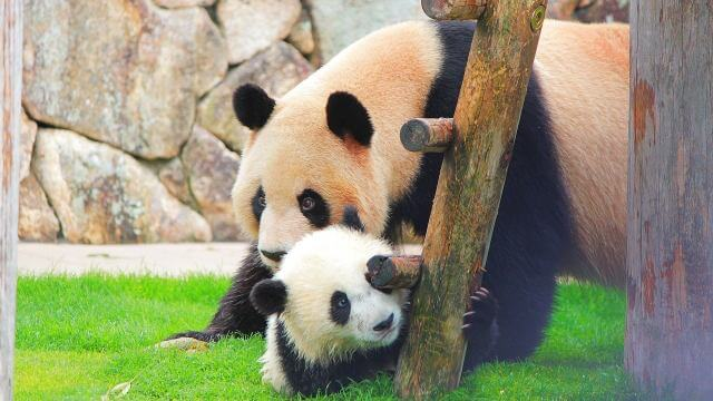 夢占い パンダ
