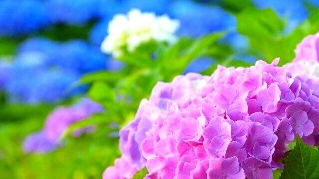 夢占い 紫陽花 あじさい アジサイ