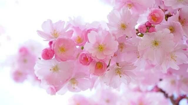 花言葉,桜