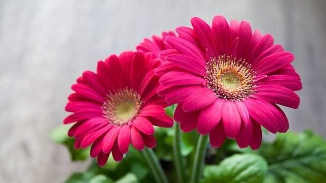 花言葉,ガーベラ