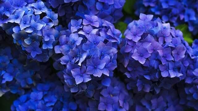 花言葉,紫陽花