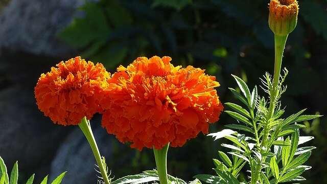 花言葉,マリーゴールド