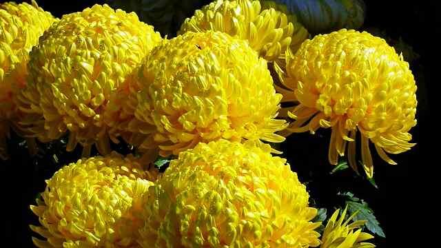 花言葉,菊