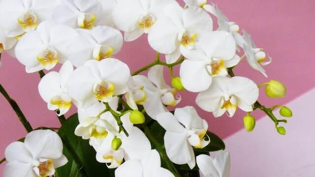 花言葉,胡蝶蘭