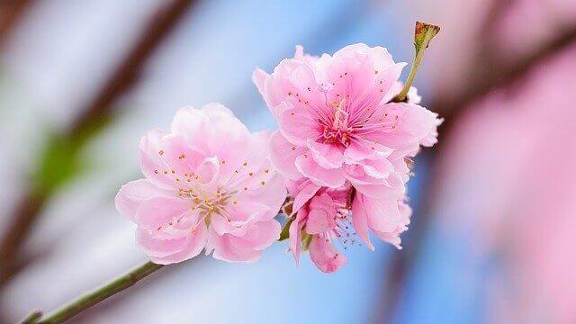 花言葉,桃