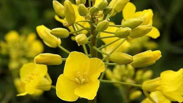 花言葉,菜の花