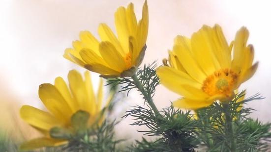 flower language, adonis_3