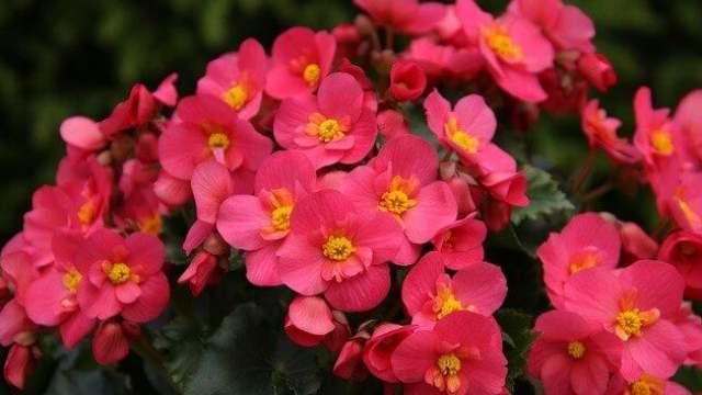 花言葉 ベゴニア