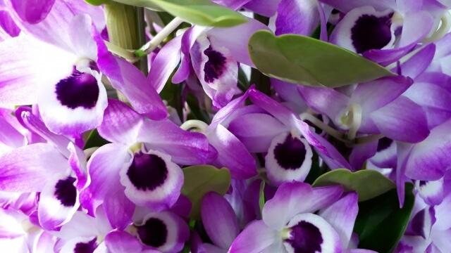 花言葉、デンドロビウム