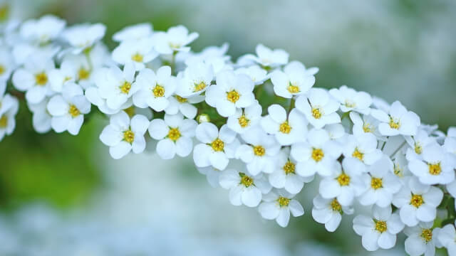 花言葉、雪柳