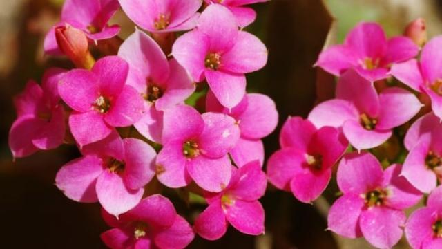 花言葉,カランコエ