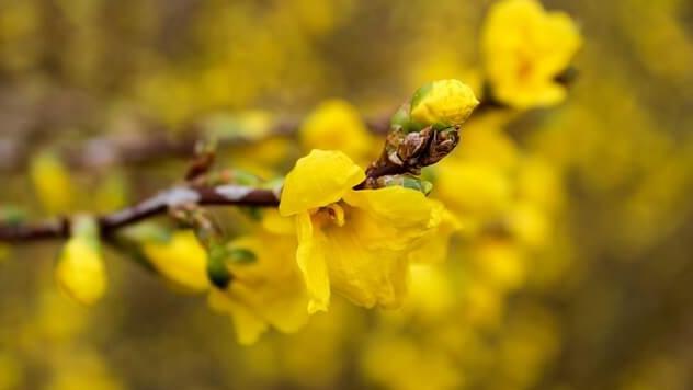花言葉、エニシダ
