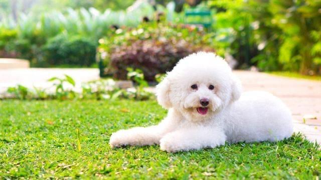 夢占い,白い犬